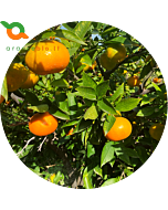 Clementine dell'Etna