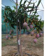 Mango Bio Kensington Pride